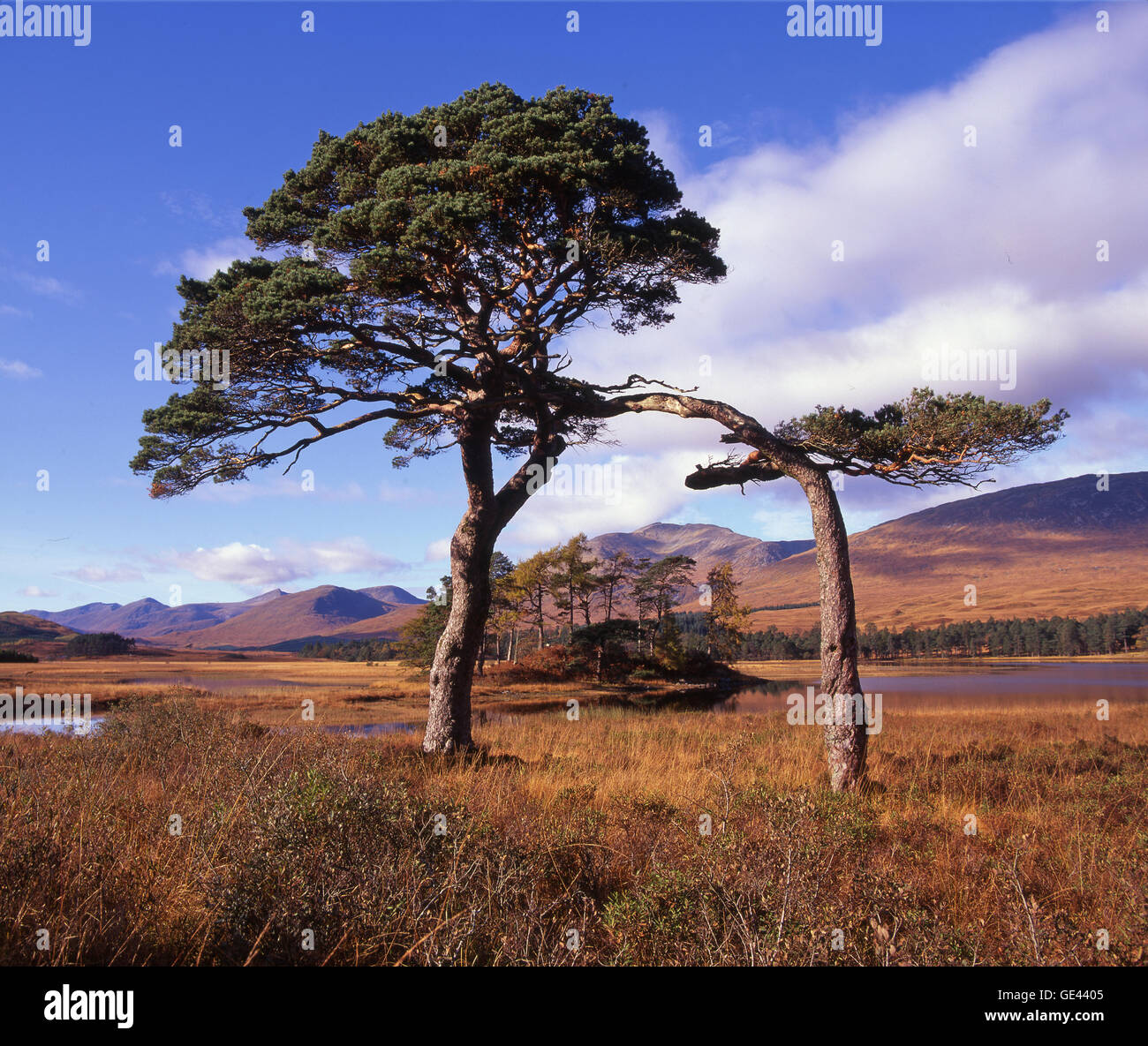 Scots Pines on the shore of Loch Tulla, Blackmount, Highlands - Stock Image
