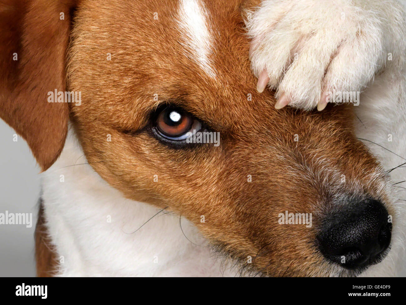 Jack Russell Terrier closeup, looking into camera with one paw covering one eye. - Stock Image