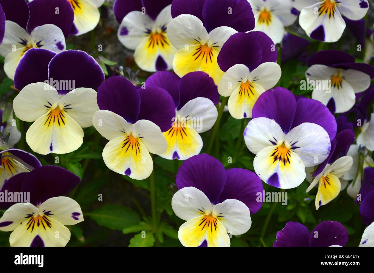 Group of Purple Pansies with White and Yellow Sunburst Center - Stock Image