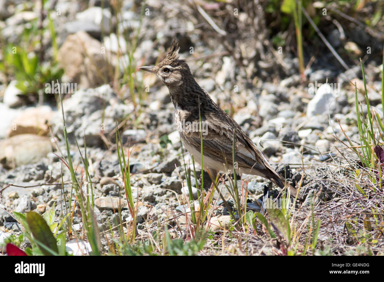 Crested Lark (Galerida cristata). Russia, Sochi (Adler). Stock Photo