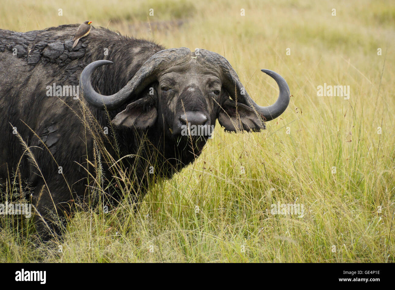 Cape buffalo with yellow-billed oxpecker in long grass, Masai Mara, Kenya - Stock Image