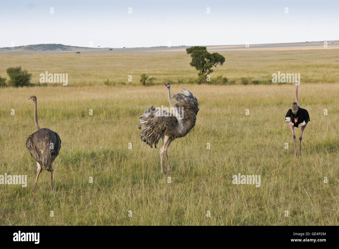 Female ostrich warning off the competition for a mate, Masai Mara, Kenya - Stock Image
