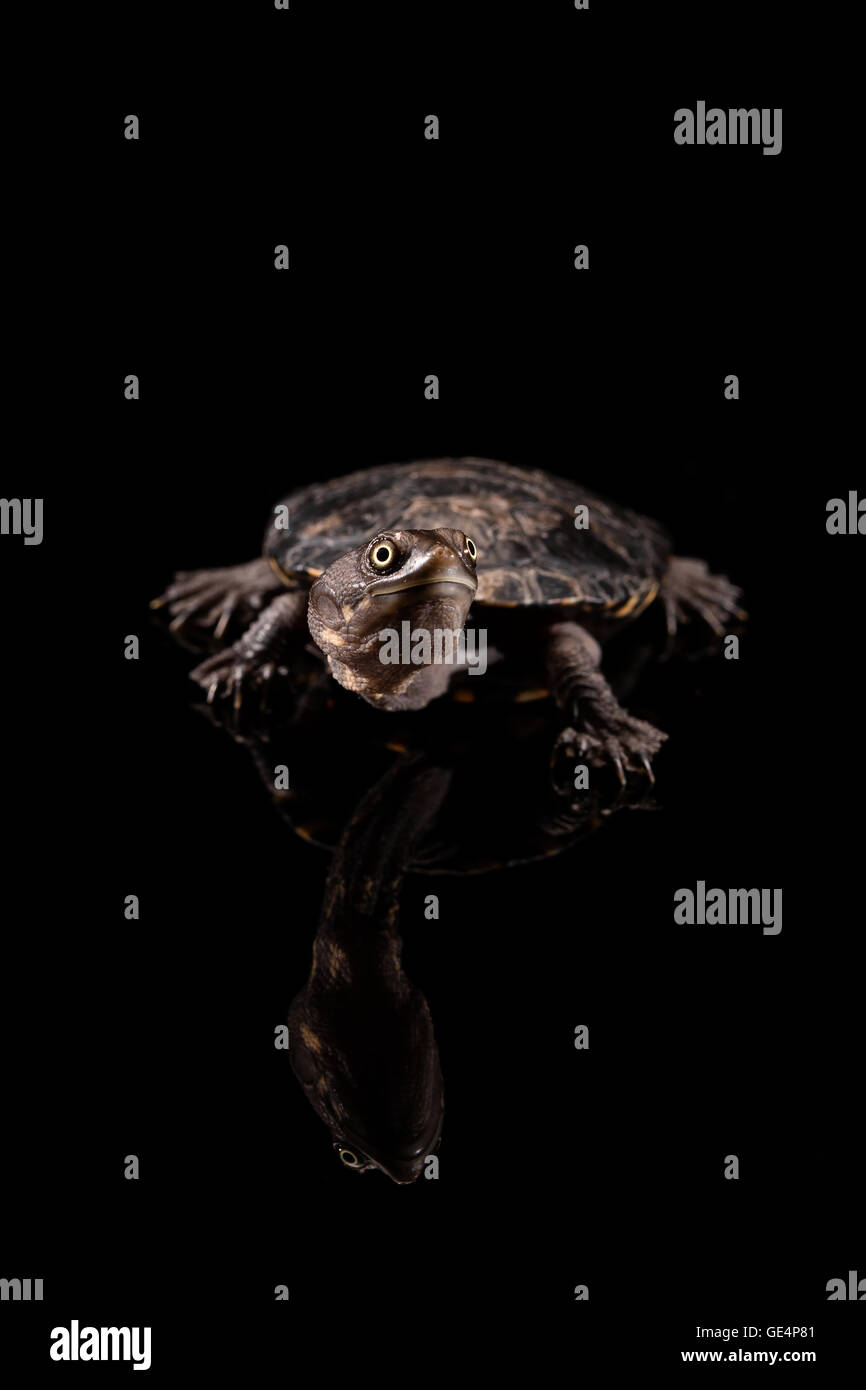 Baby Eastern Long-Necked Turtle looking upwards - Stock Image