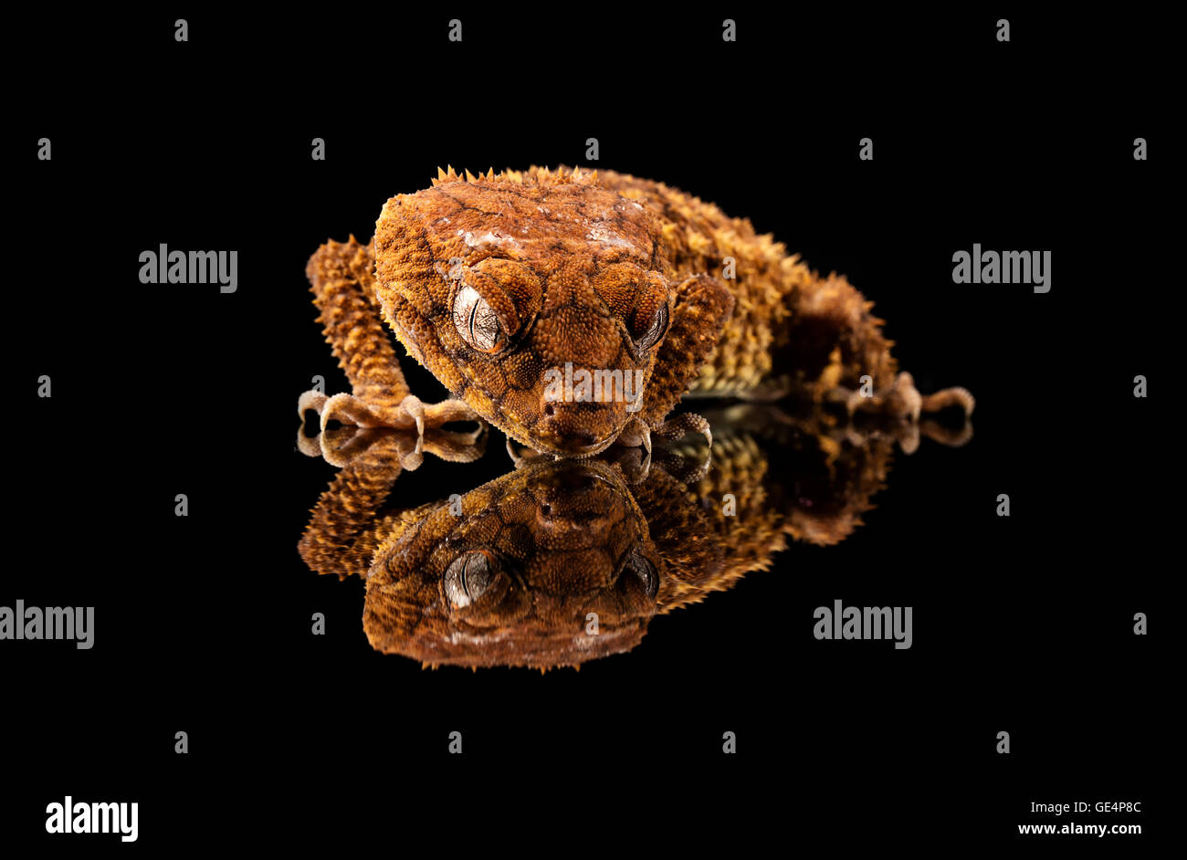 Rough Knob Tailed Gecko (Nephrurus amyae) looking at its reflection - Stock Image