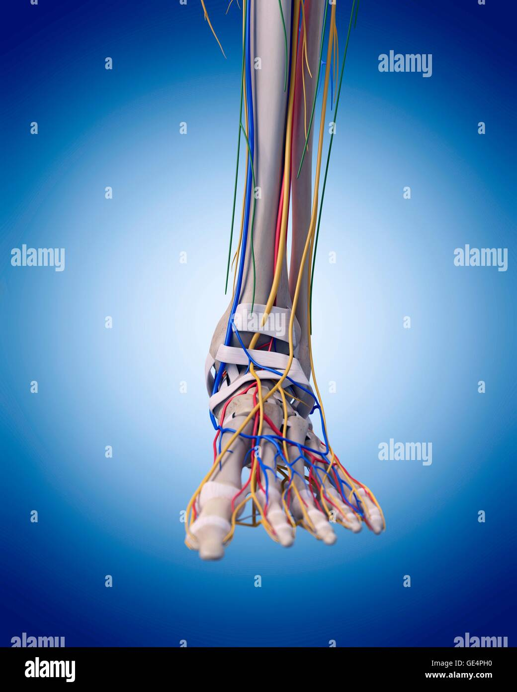 Nerves Foot Stock Photos & Nerves Foot Stock Images - Alamy