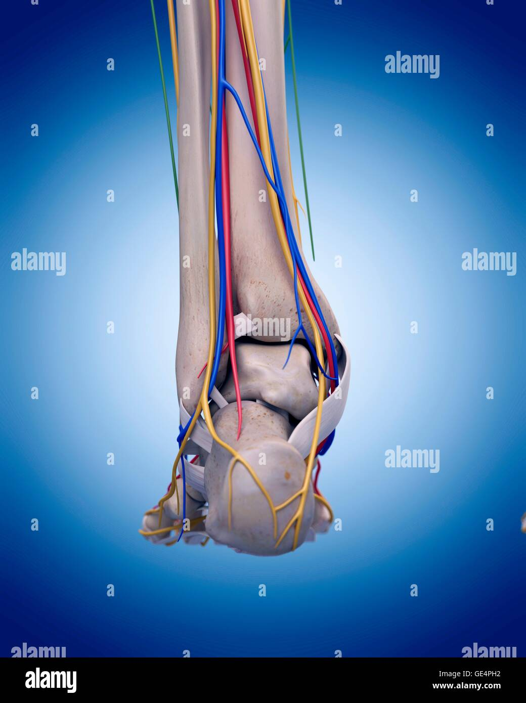 Human Heel Anatomy Stock Photos & Human Heel Anatomy Stock Images ...