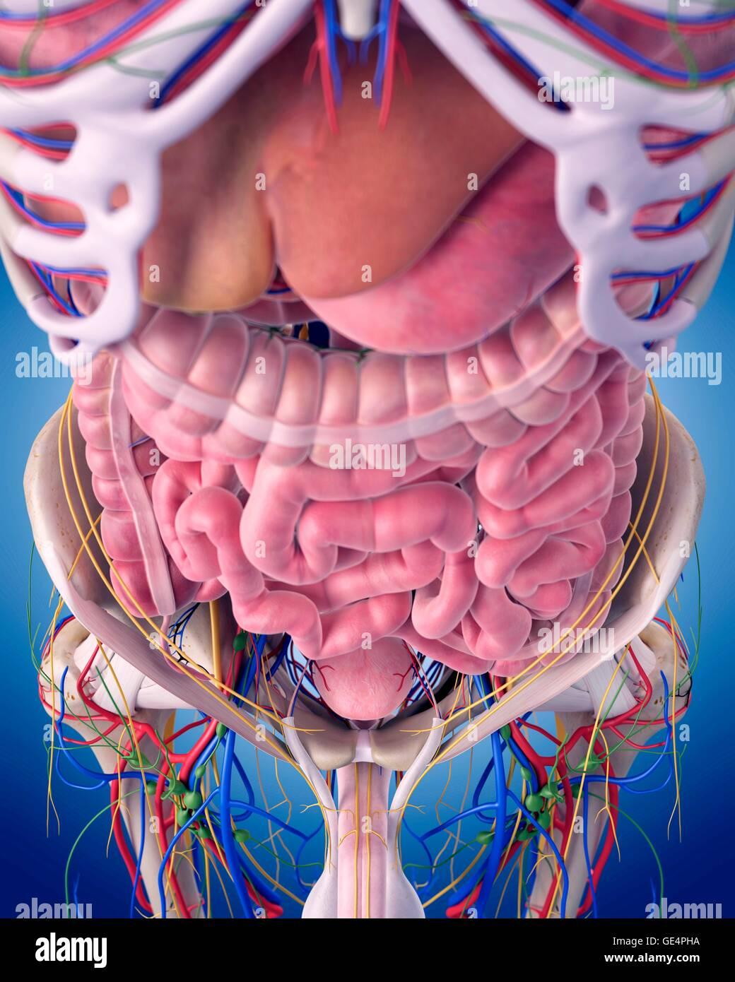 Human Abdominal Anatomy Illustration Stock Photos Human Abdominal
