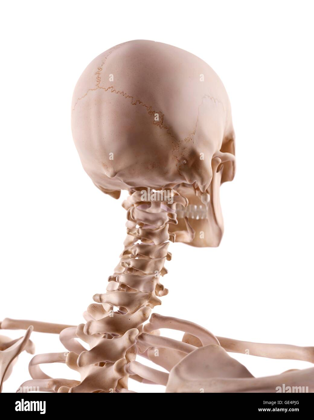 Human Skull And Cervical Spine Illustration Stock Photo 111972968