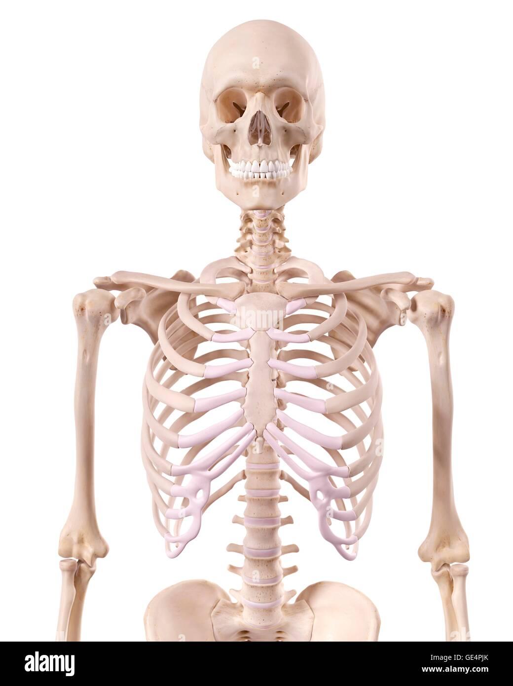Human Skeletal Structure Illustration Stock Photo 111972971 Alamy