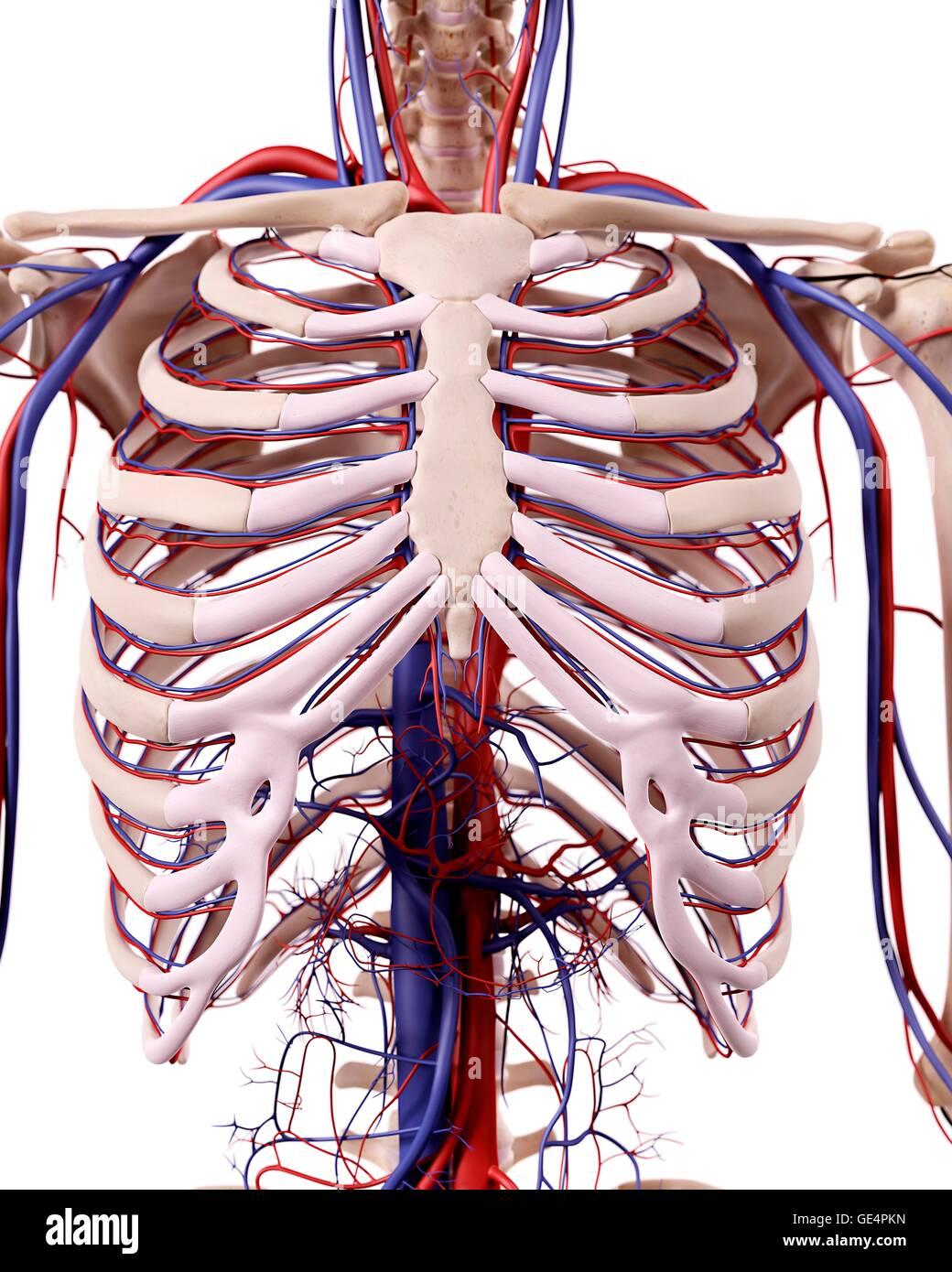 Human Thoracic Anatomy Illustration Stock Photo 111973001 Alamy