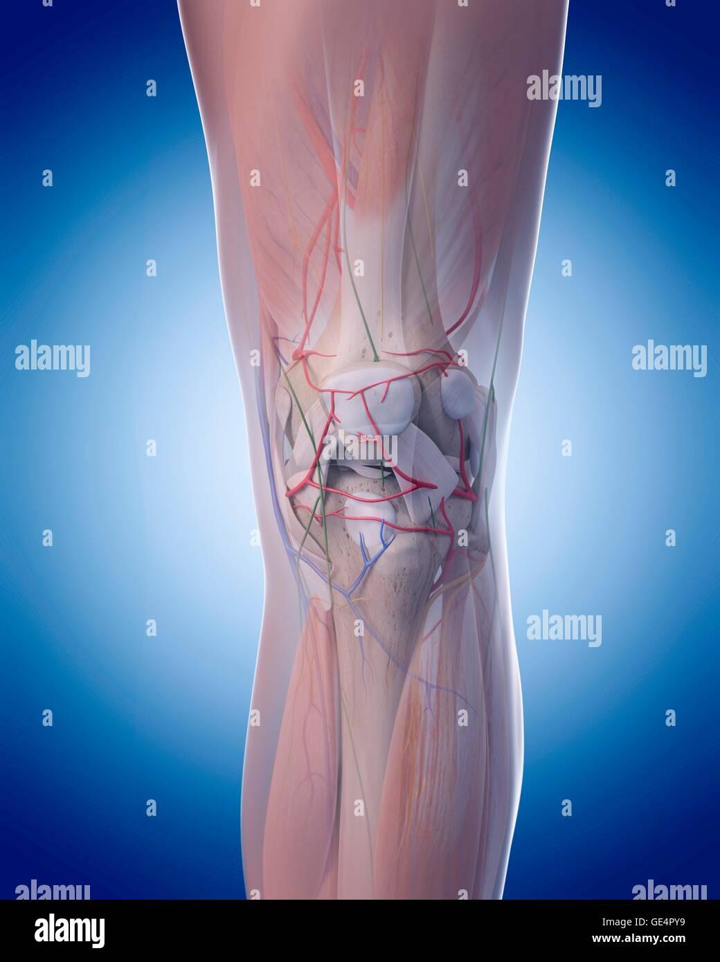 Human Knee Anatomy Illustration Stock Photo 111973213 Alamy