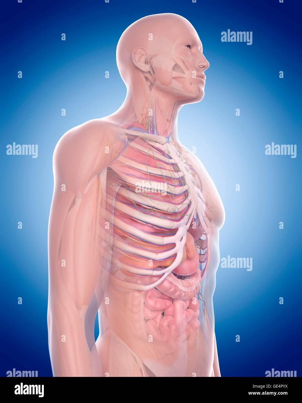 Human Thoracic Anatomy Stock Photos Human Thoracic Anatomy Stock