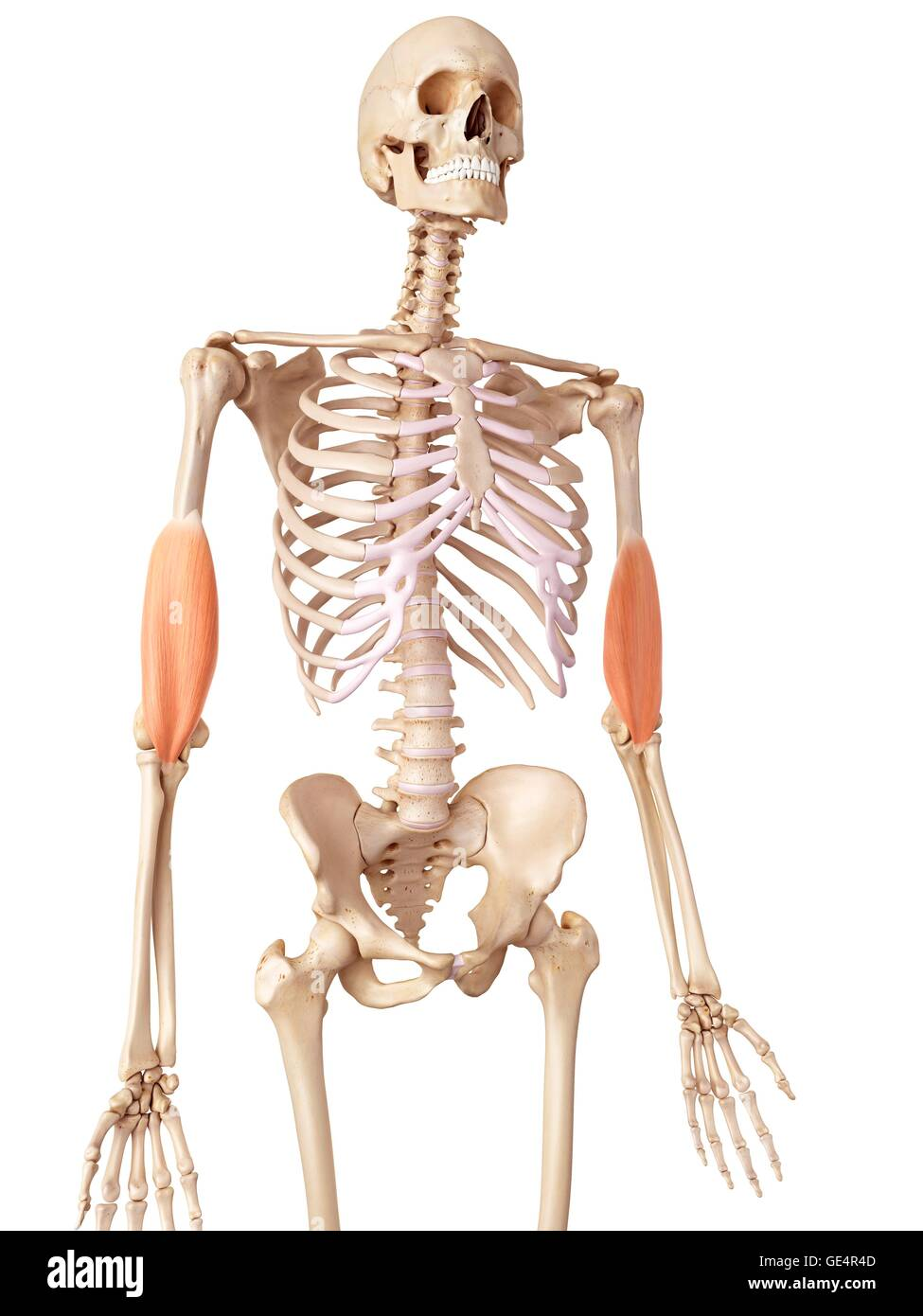 Muscles Of The Human Arms Illustration Stock Photo 111973357 Alamy