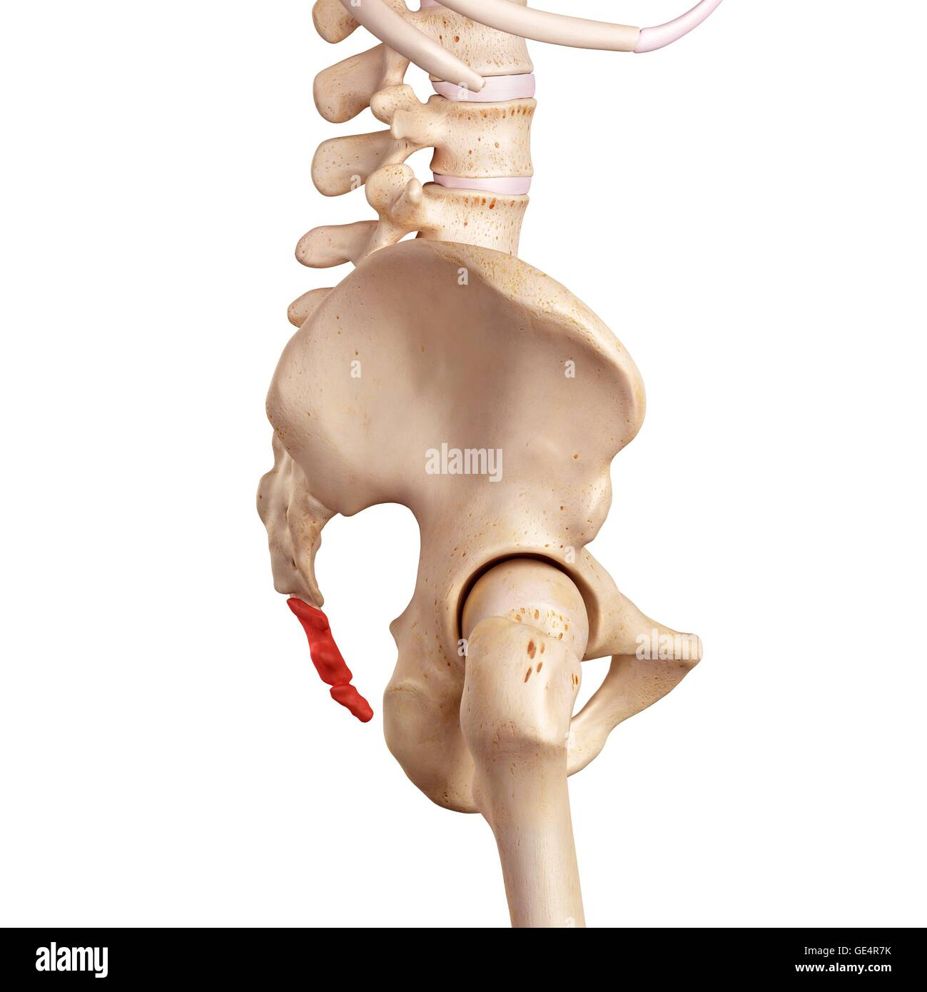 Coccyx Stock Photos & Coccyx Stock Images - Alamy
