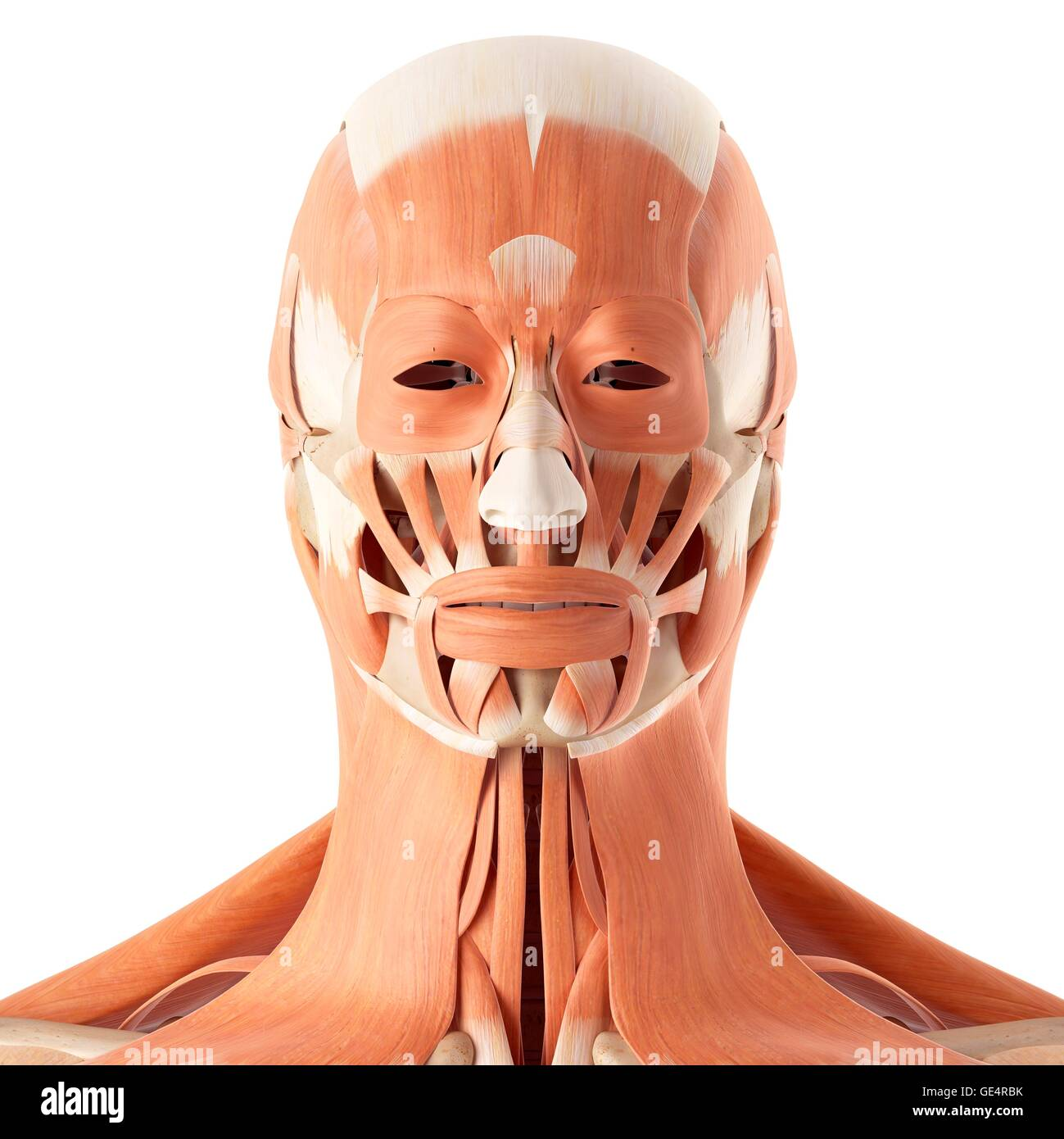 Picture of facial muscles