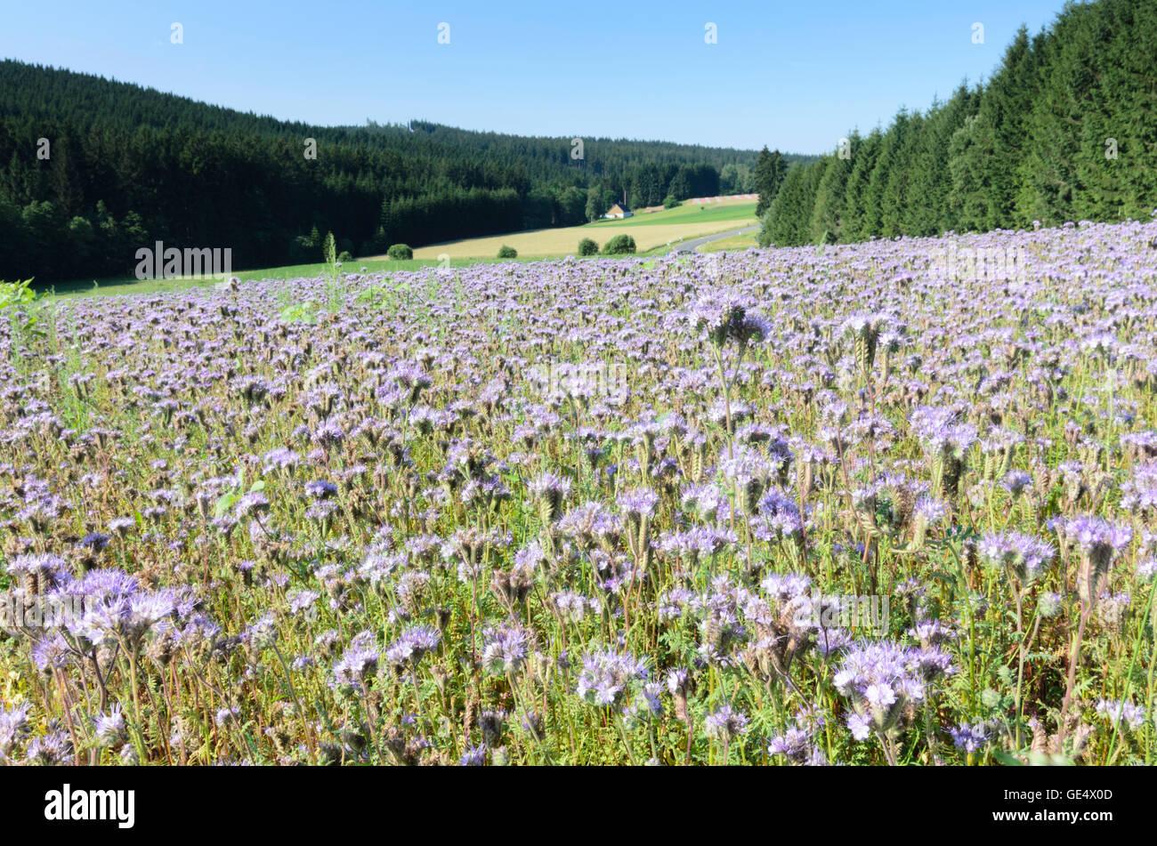 Sallingberg: Field with margin fern-Phazelie (Phacelia tanacetifolia), Austria, Niederösterreich, Lower Austria, - Stock Image