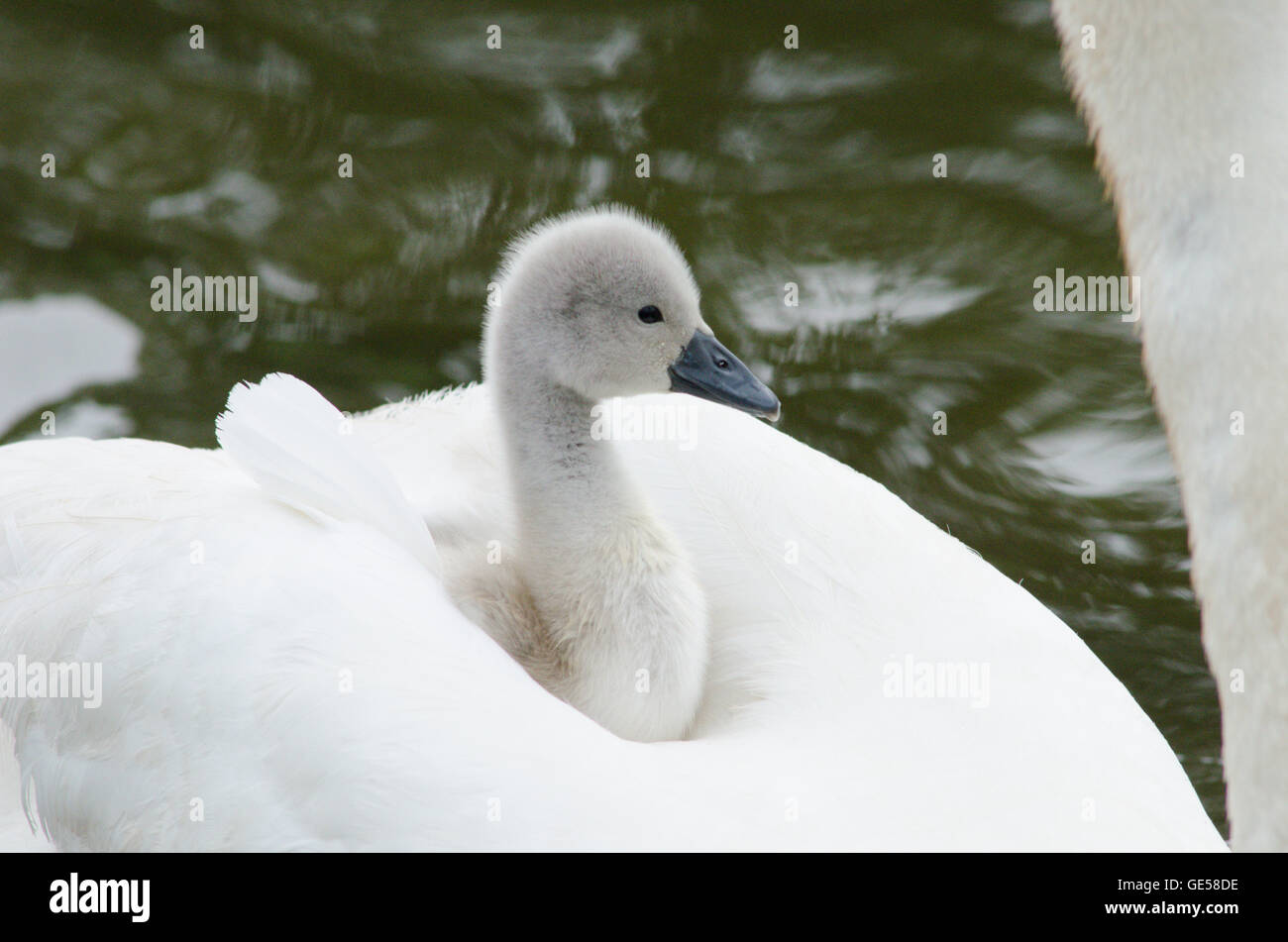 Mute Swan [Cygnus olor] carrying a baby on its back on the River Ant, The Norfolk Broads, UK Stock Photo