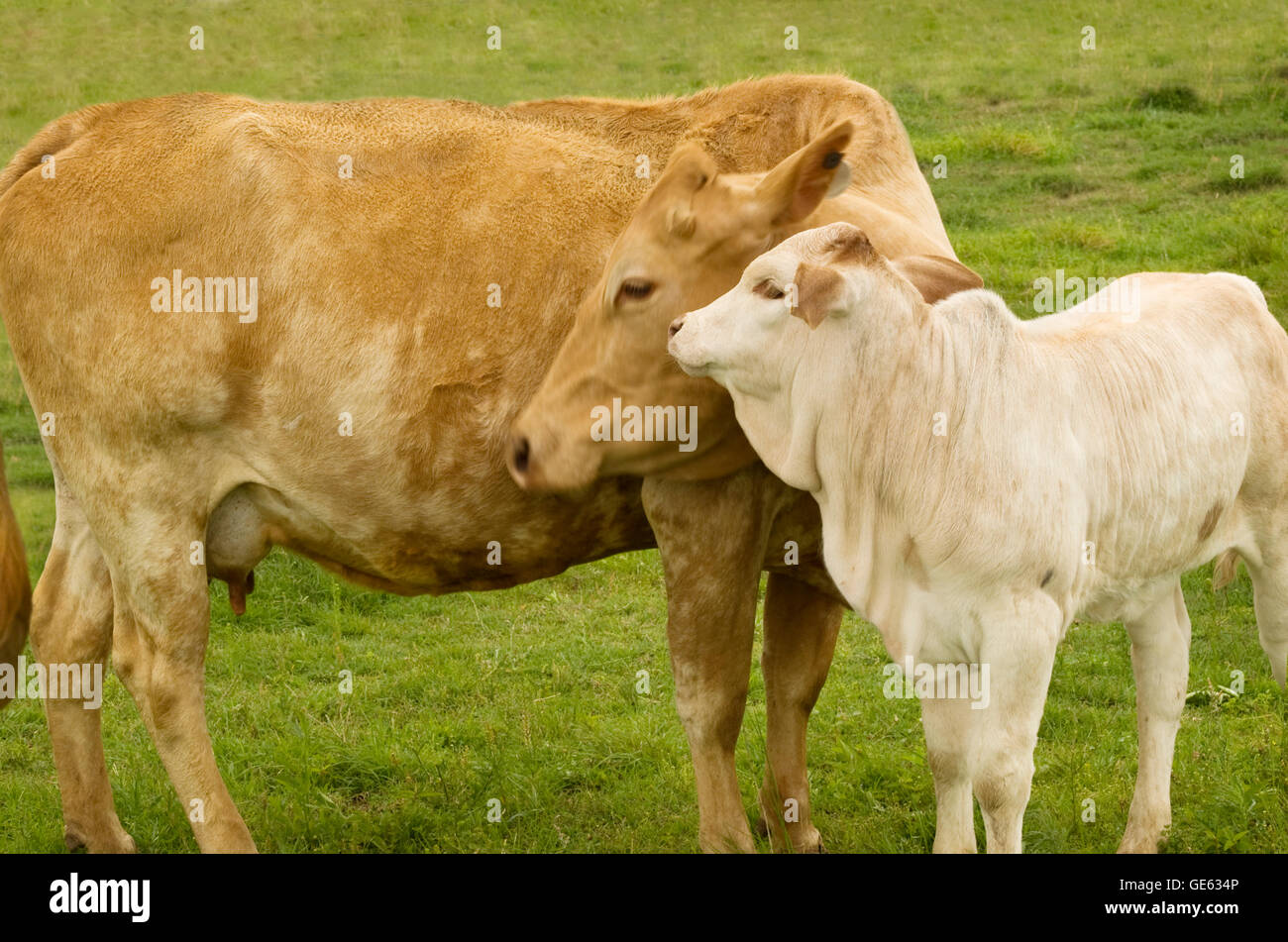 charolais cow with baby calf - spring time mother  love - rural scene - Stock Image