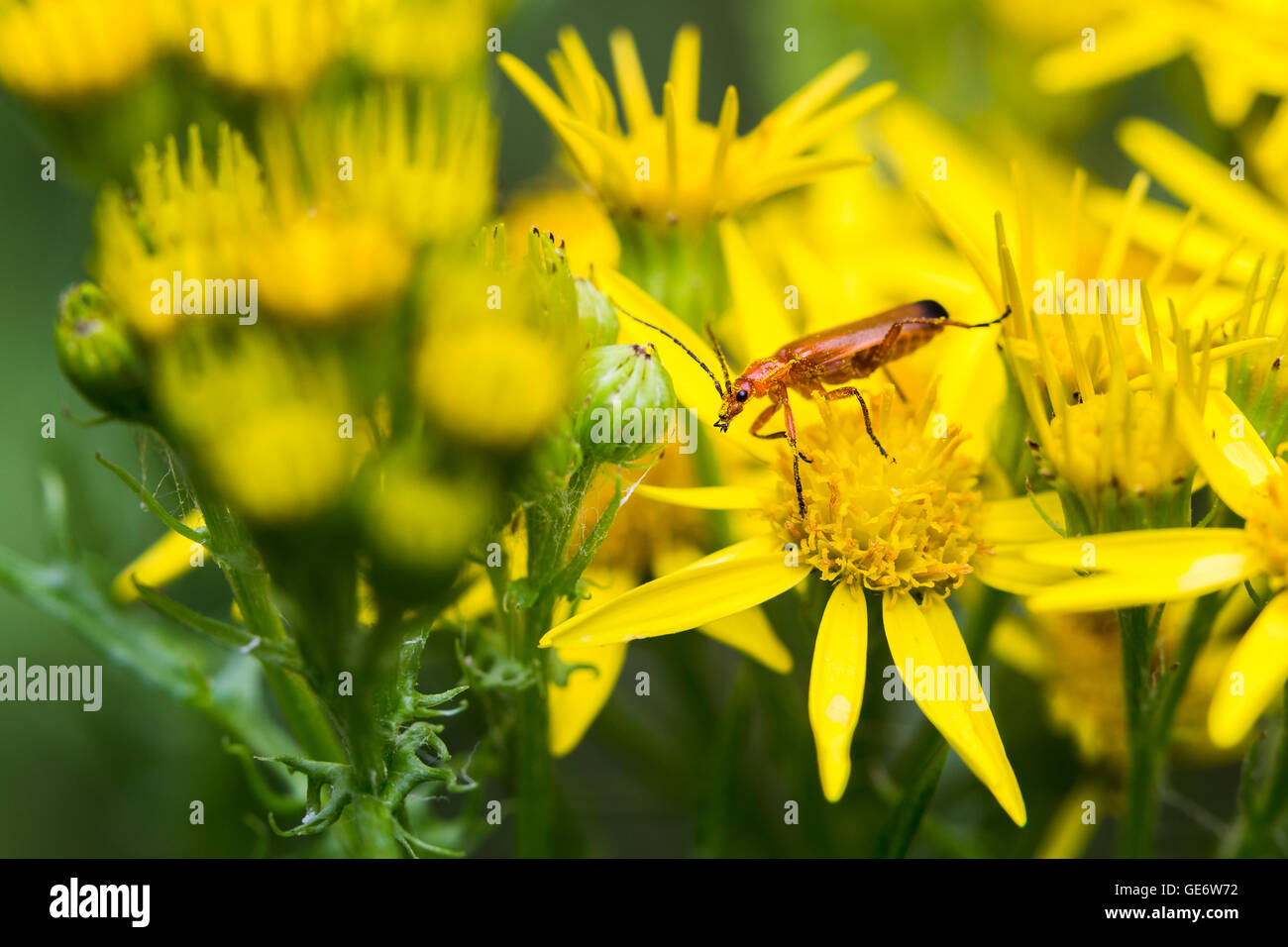 Pictured at Lunt Meadows Nature Reserve (near Liverpool) on an overcast day in the summer. Stock Photo