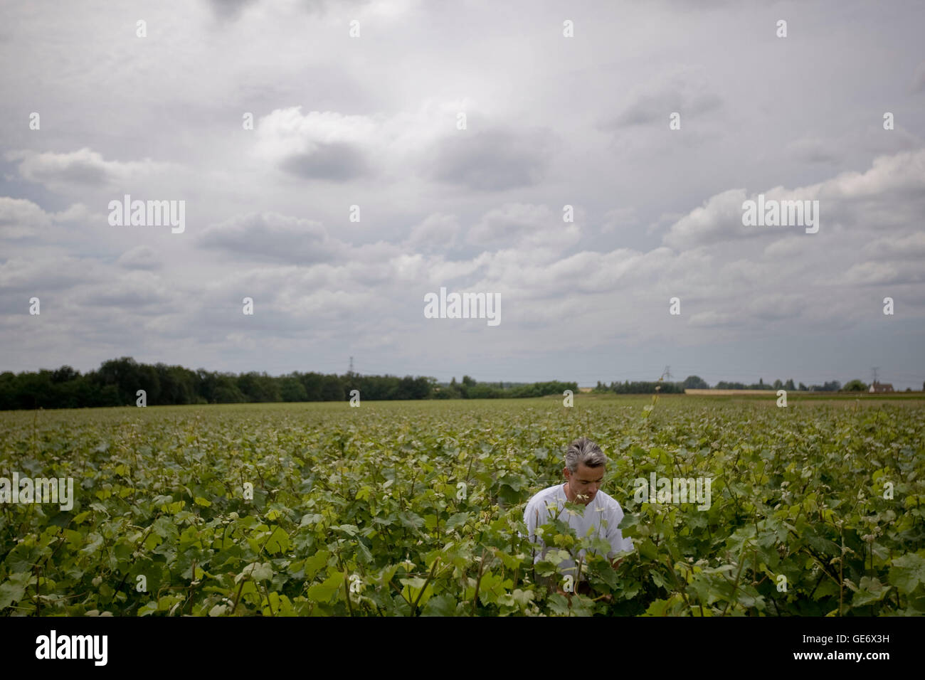 Gregory Royer works in his vineyards outside Vouvray, France, 26 June 2008. - Stock Image