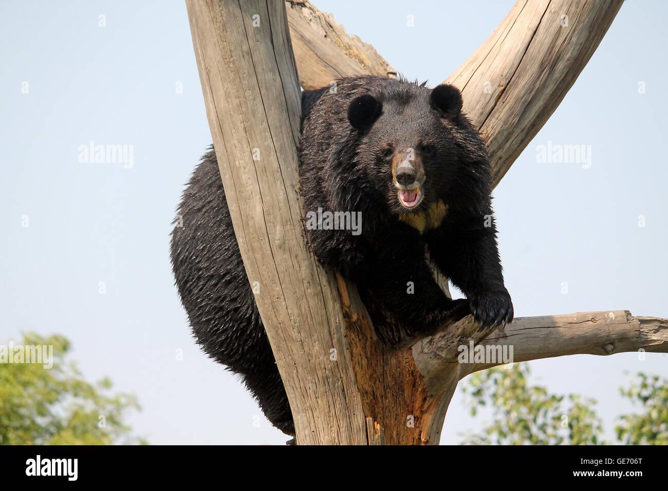 Asian Black Bear or the Himalayan Black Bear (Ursus thibetanus or Selenarctos thibetanus) at National Zoological - Stock Image
