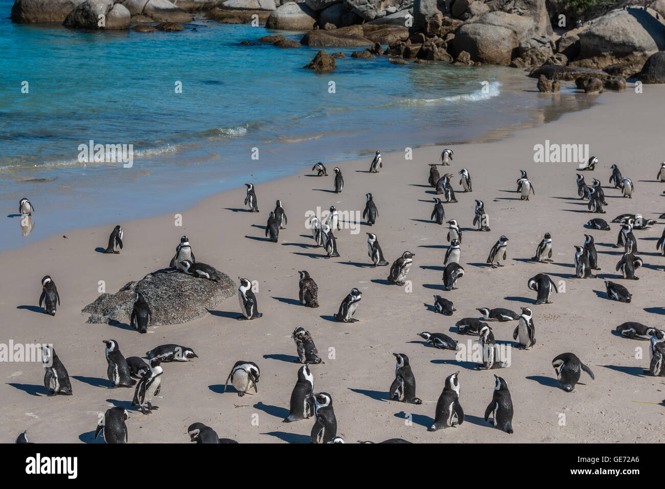 Penguins in Beach south Africa - Stock Image