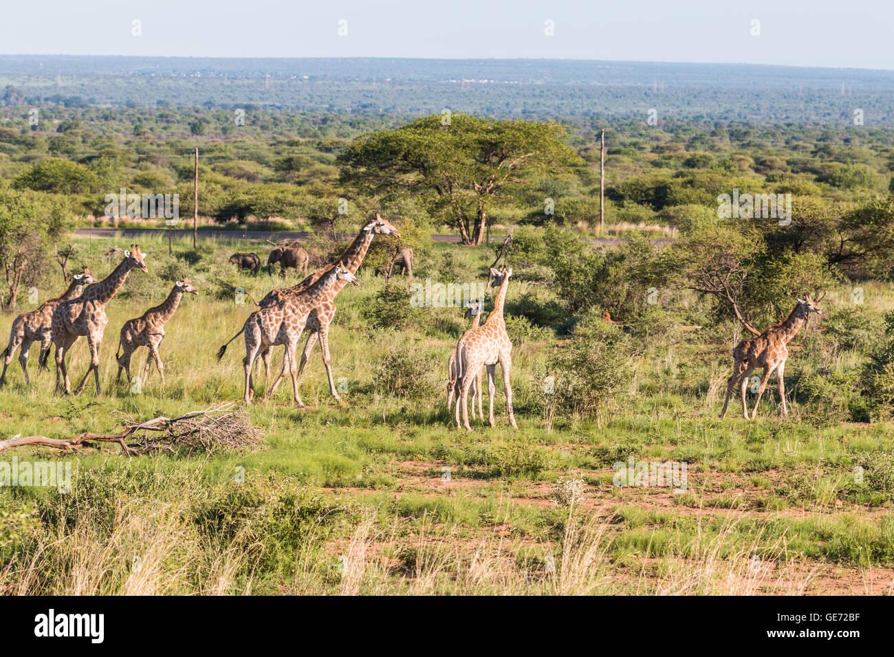 Giraffes in African Safari - Stock Image