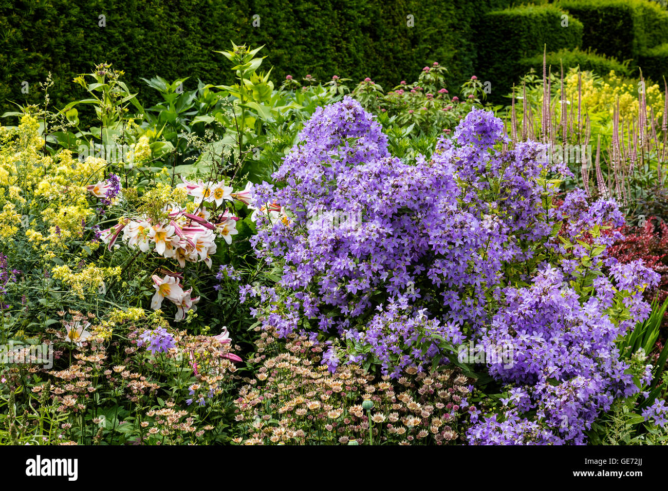 Summer flowers lilies, campanula and astrantia in a well stocked herbaceous border. - Stock Image