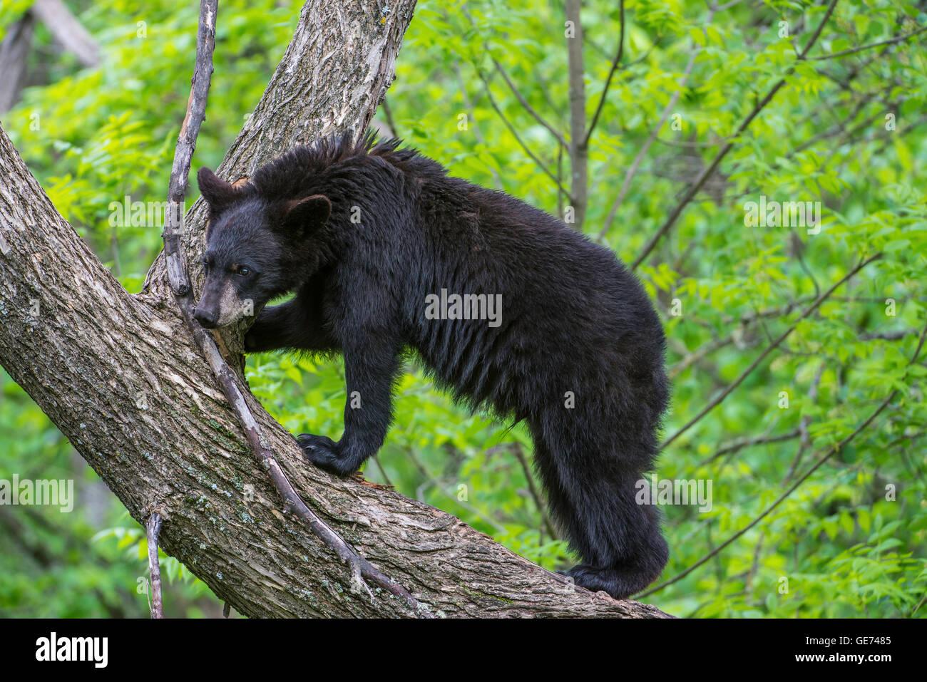Black bear yearling Urus americanus, climbing tree, North America - Stock Image