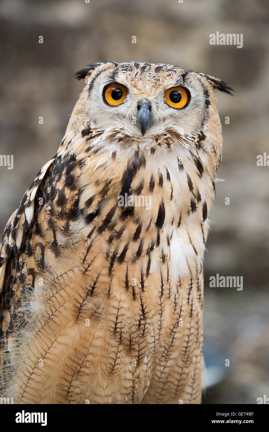 Bengal Eagle Owl (Bubo bengalensis), © Jason Richardson / Alamy Live News - Stock Image