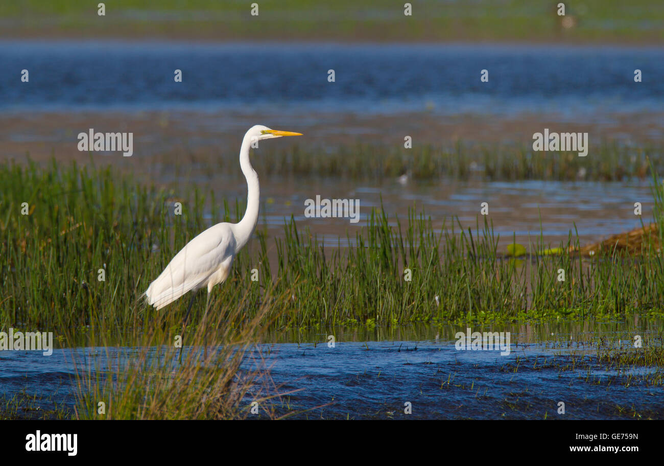 An Eastern Great Egret, Ardea alba modesta, standing on the edge of an Australian wetland lagoon with blue water - Stock Image