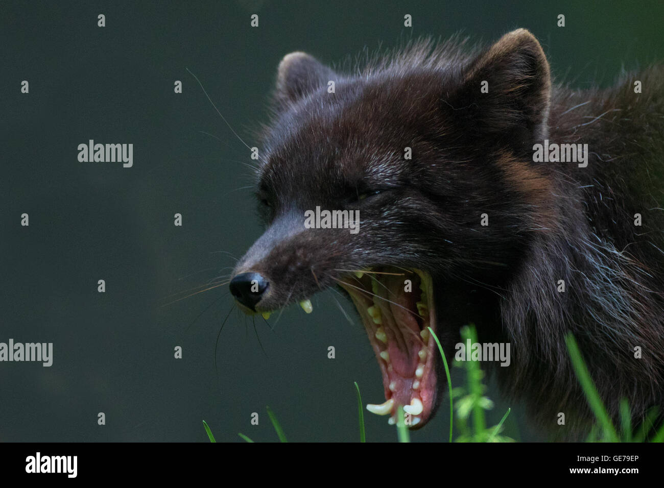 Arctic Fox growl snarl howl growl scream - Stock Image