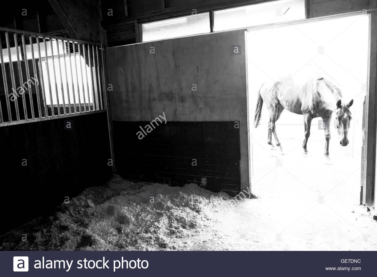 Strip End, Camptown, Jedburgh, Scottish Borders, UK. 22nd July 2016. Racehorses enjoy home comforts at the stables Stock Photo