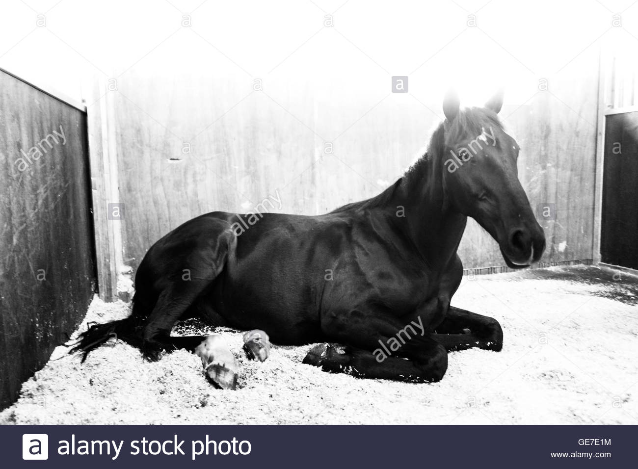Strip End, Camptown, Jedburgh, Scottish Borders, UK. 22nd July 2016. Racehorses enjoy home comforts at the stables - Stock Image