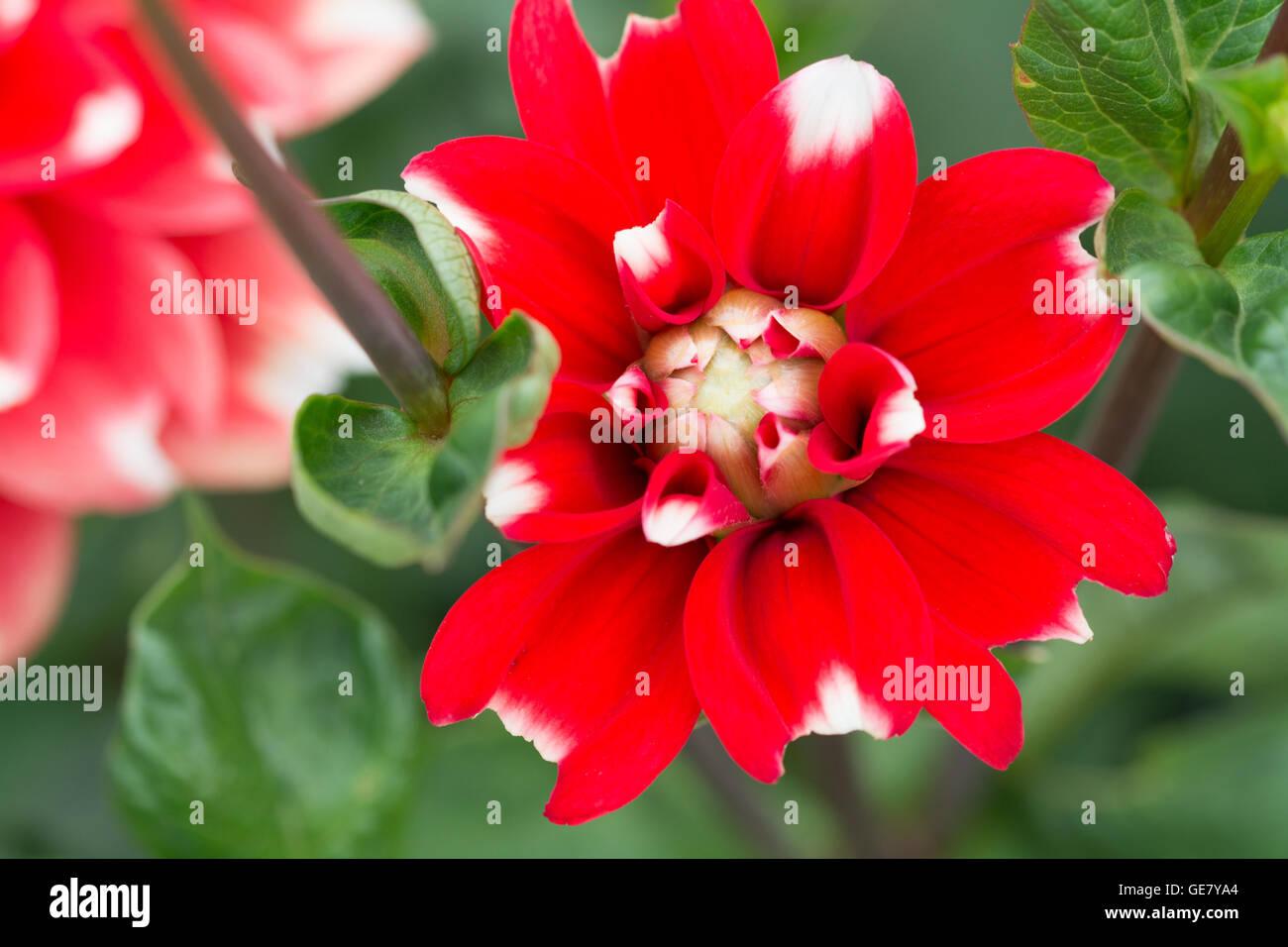 Close of of Dahlia Nagano flower Stock Photo