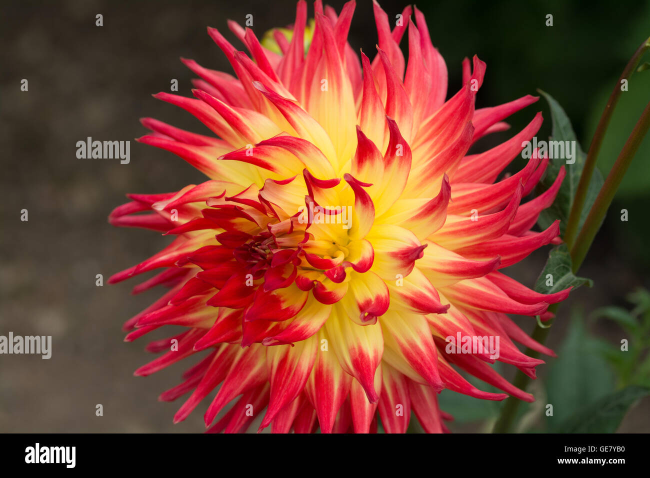 Red and Yellow Dahlia Julies Delight Stock Photo