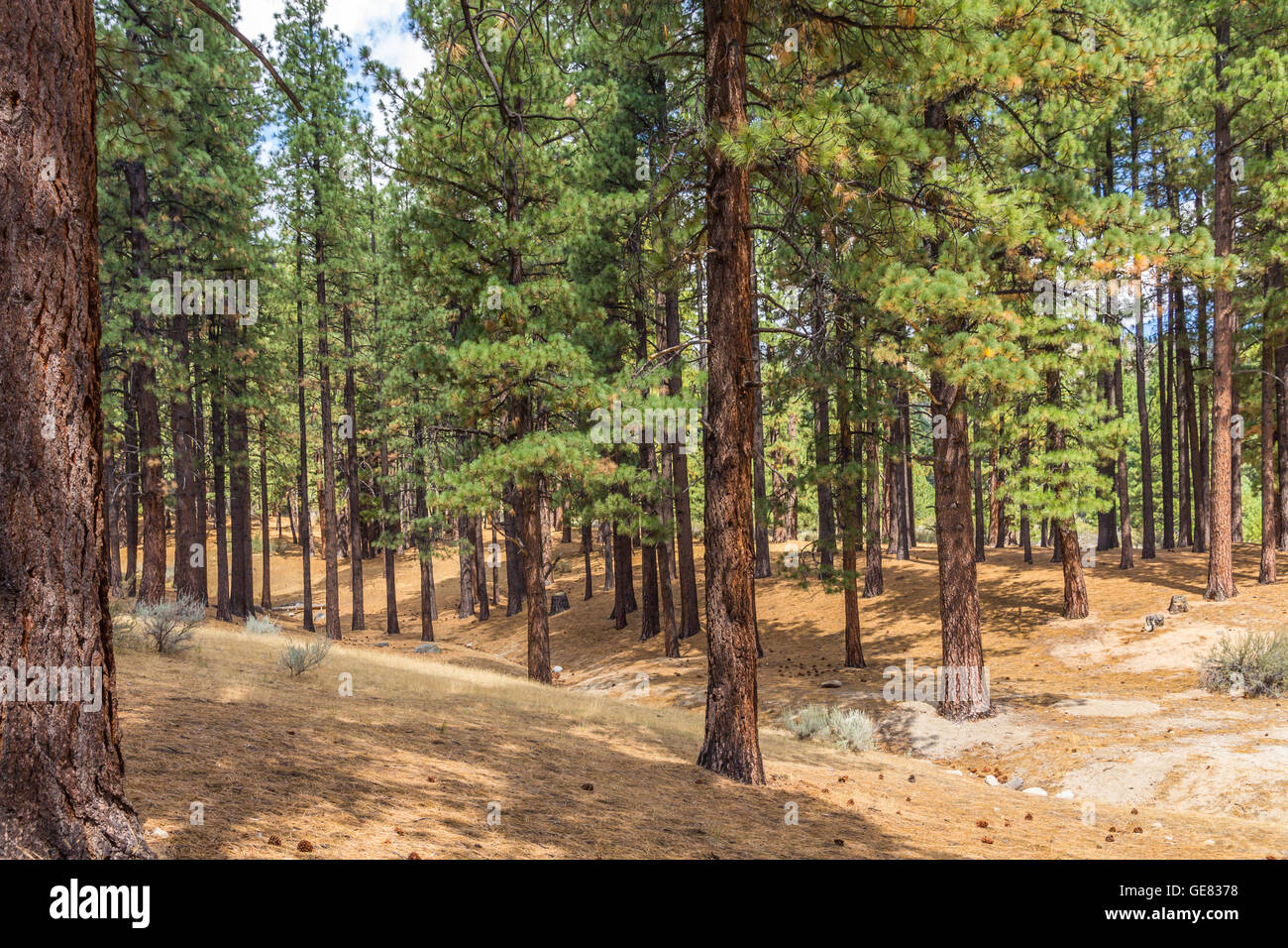 Beautiful Jeffrey Pine Forest with leading lines and diagonals,Washoe Valley Nevada - Stock Image