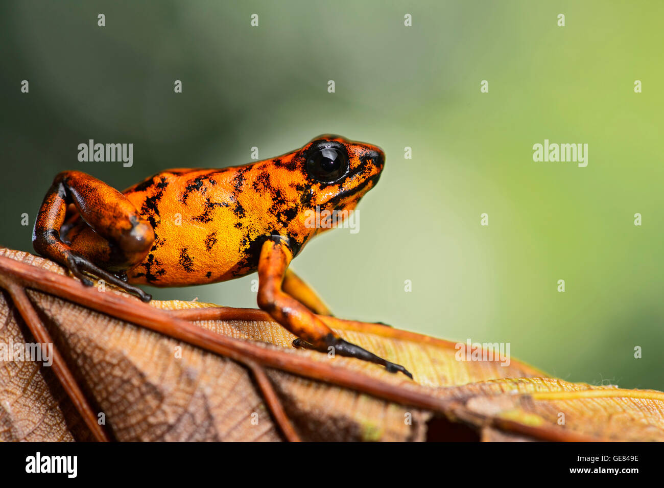 Little-devil poison frog (Oophaga sylvatica), Choco rainforest, Canande River Reserve, Choco forest, Ecuador - Stock Image
