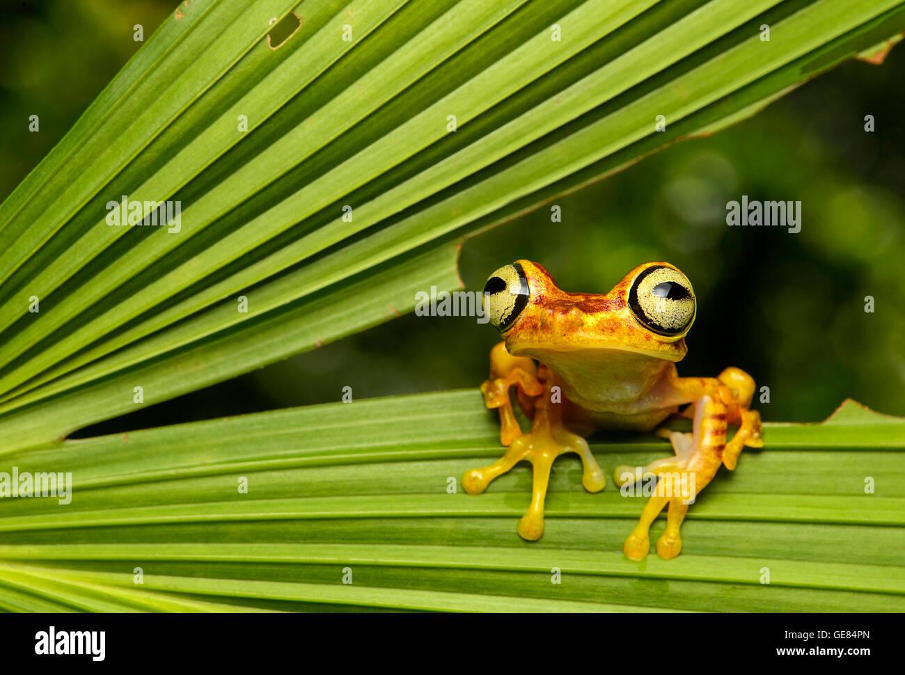 Imbabura Treefrog (Hypsiboas pictuator), Amazon rainforest, Canande River Reserve, Choco forest, Ecuador - Stock Image