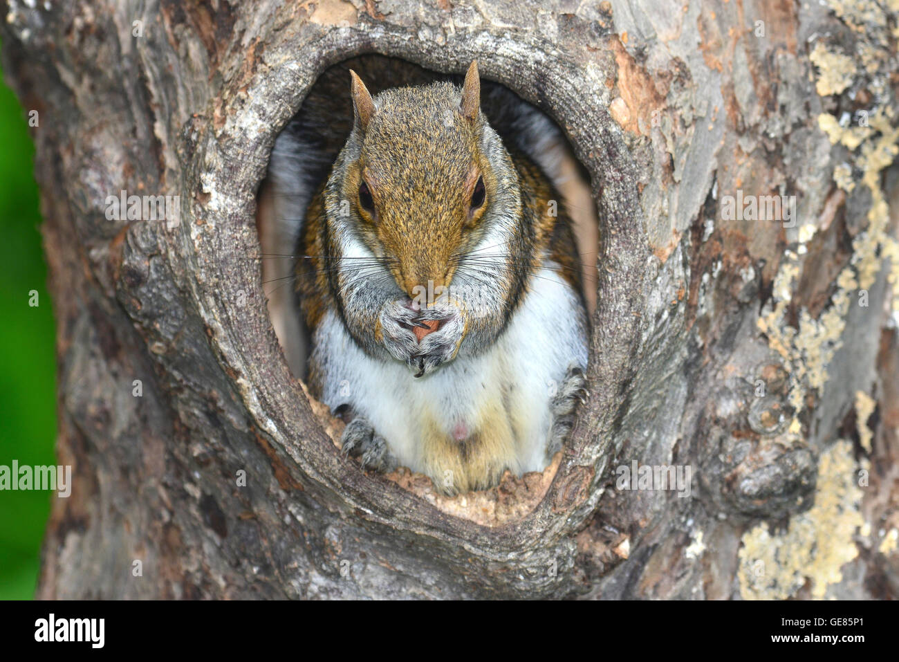 grey squirrel sciurus carolinensis - Stock Image