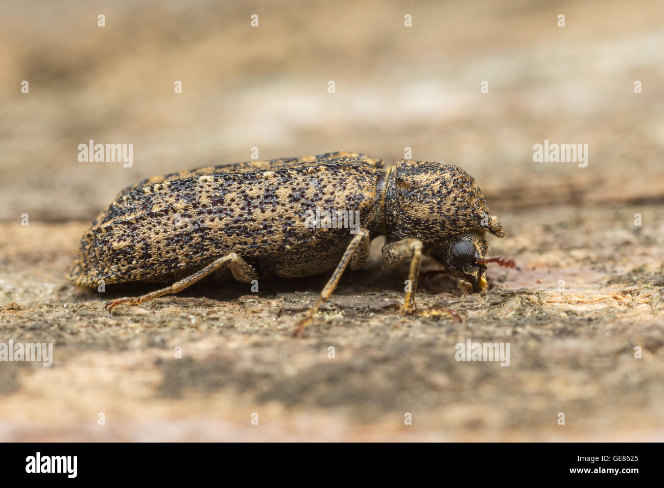 A Horned Powder-post Beetle (Lichenophanes bicornis) explores decaying wood from a dead tree. - Stock Image