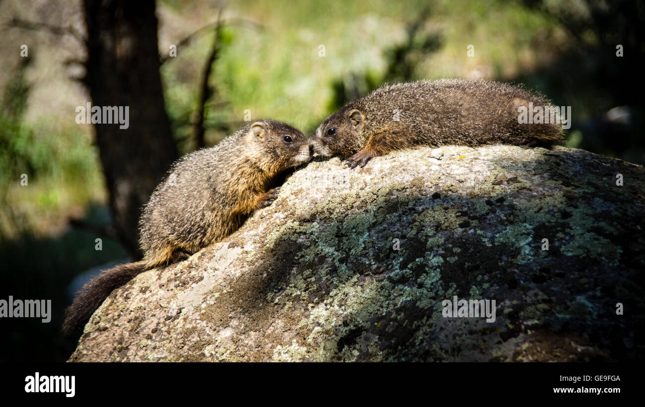 Yellow-bellied marmots (Marmota flaviventris) rubbing noses on a rock in Yellowstone. - Stock Image