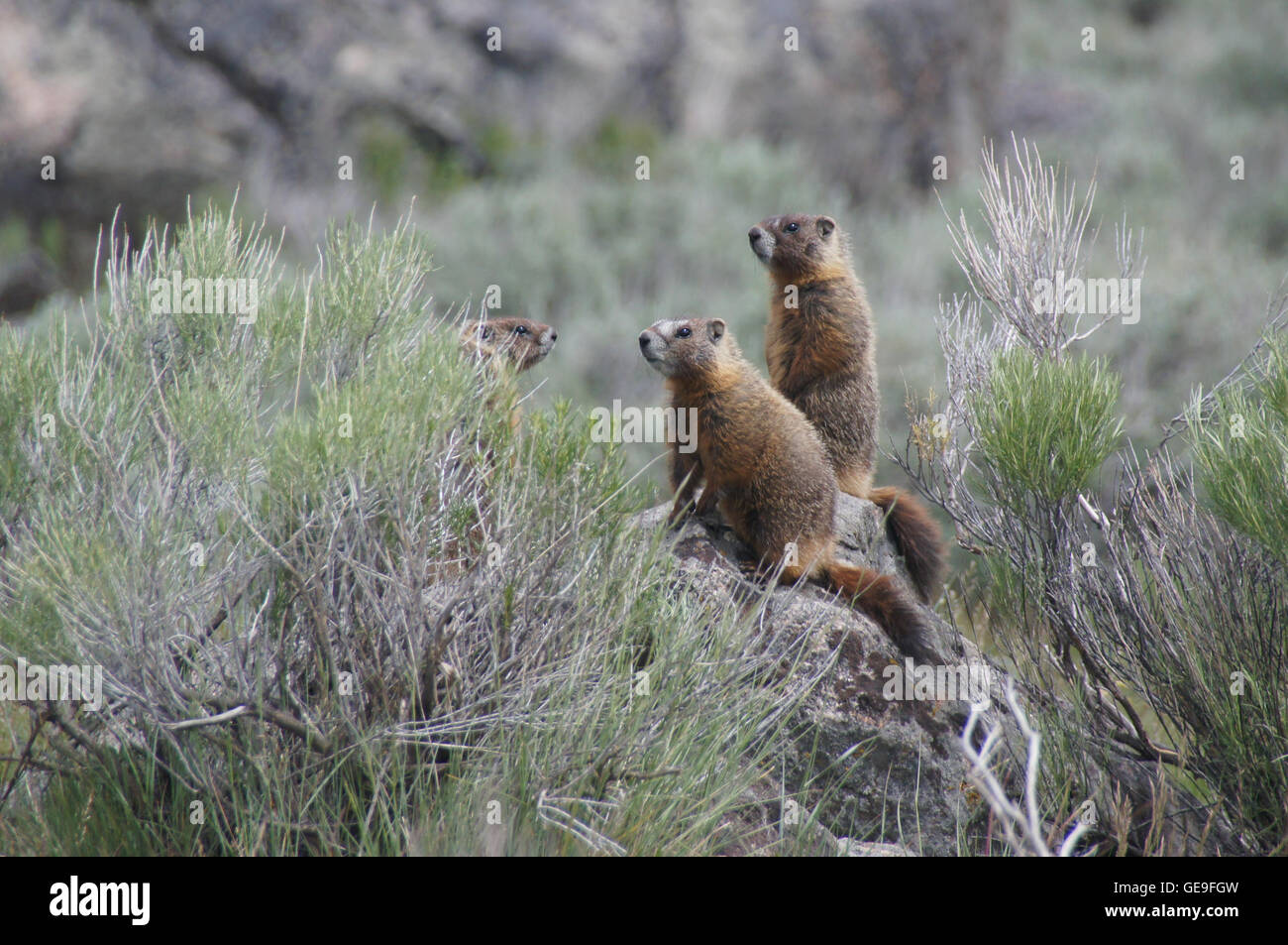 Yellow-bellied marmot (Marmota flaviventris) standing on a rock in Yellowstone. - Stock Image