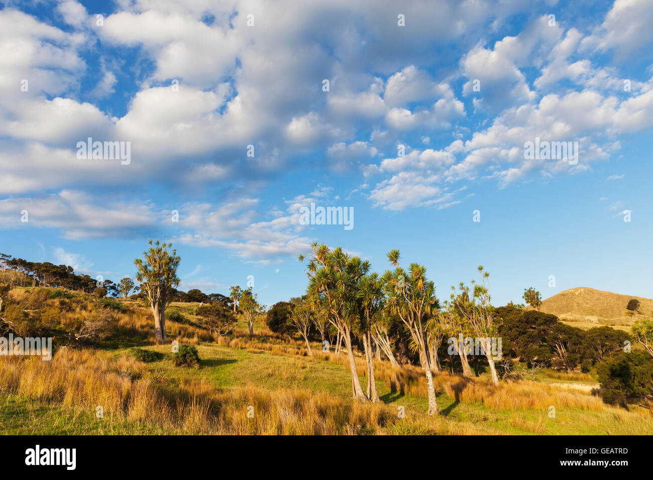 New Zealand, North Island, East Cape, Tolaga Bay region, evening light and cabbage trees, Cordyline australis - Stock Image