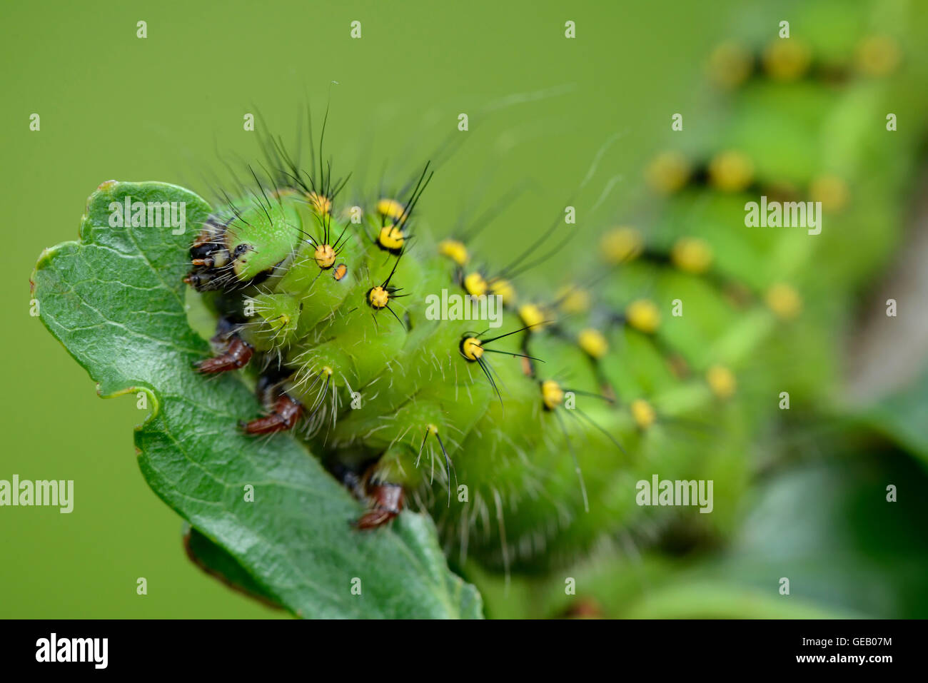 green moth leaf caterpillar stock photos green moth leaf