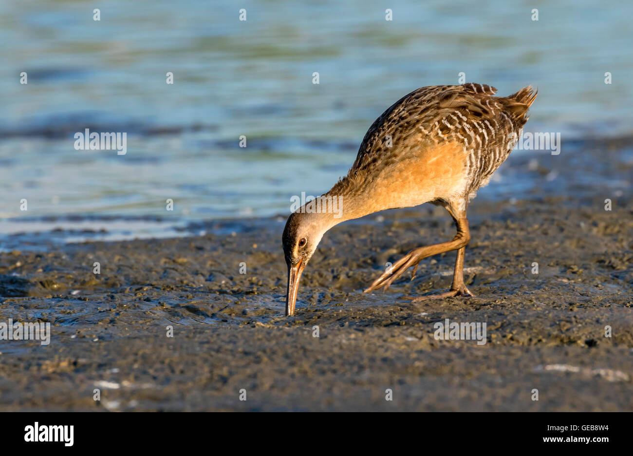 Clapper rail (Rallus crepitans) looking for food at the muddy edge of tidal marsh, Galveston, Texas, USA. - Stock Image