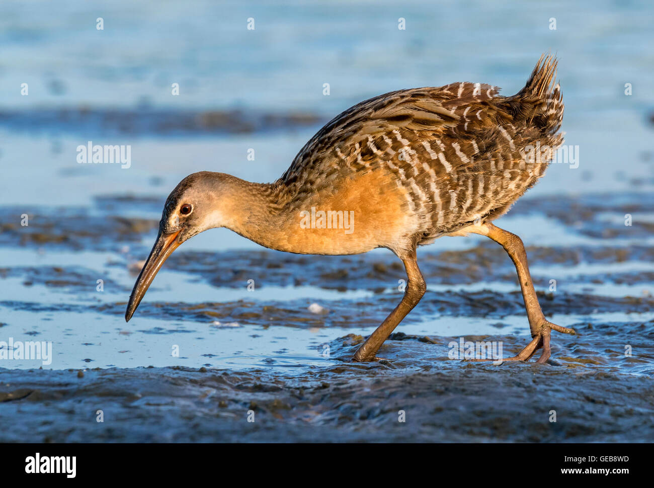 Clapper rail (Rallus crepitans) looking for food at the muddy edge of tidal marsh at early morning, Galveston, Texas, - Stock Image