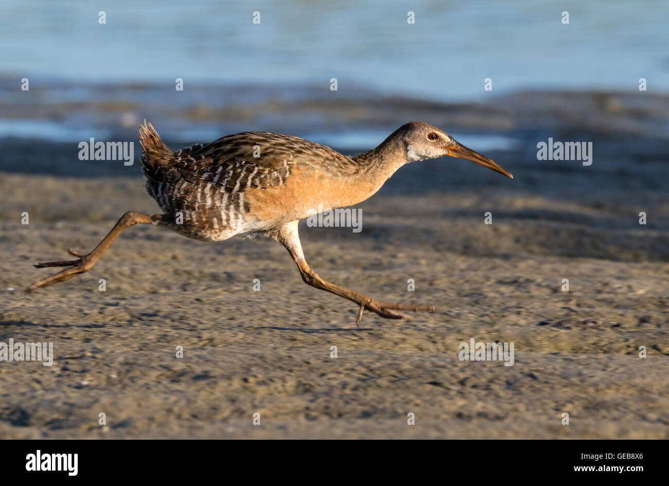 Clapper rail (Rallus crepitans) running along the edge of tidal marsh, Galveston, Texas, USA. - Stock Image