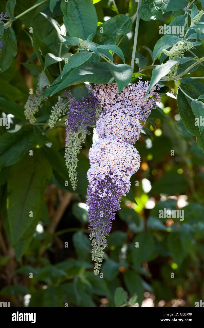 Buddleia davidii. Buddlehia flower. - Stock Image