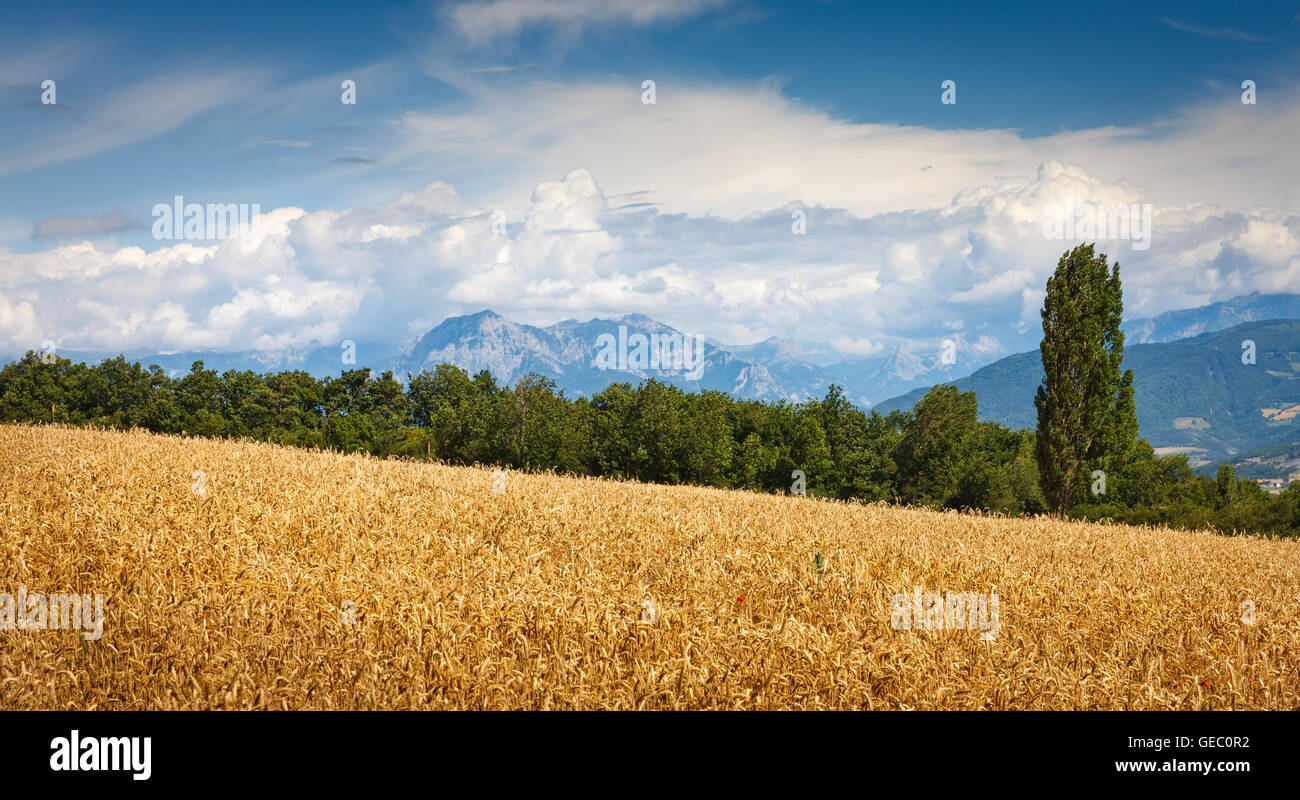 Wheatfield and Grand Morgon mountain range in Summer in the Southern French Alps,(Hautes Alpes) France - Stock Image